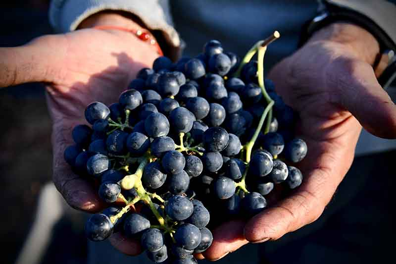 Picture of a man holding grapes in his hands